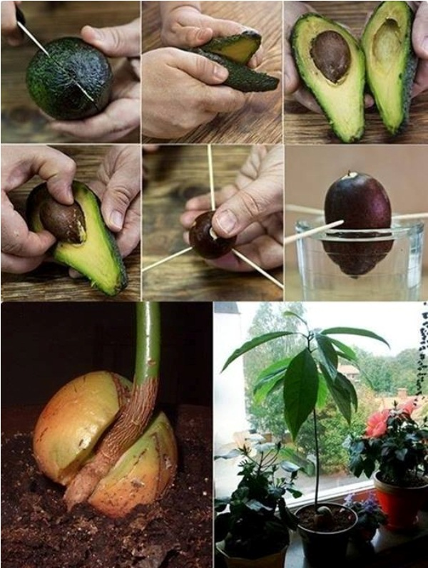 growing avocado